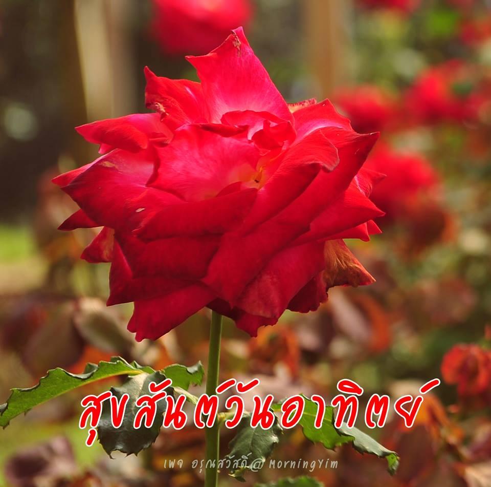 อรุณสวัสดิ์วันอาทิตย์ด้วยดอกกุหลาบสีแดง