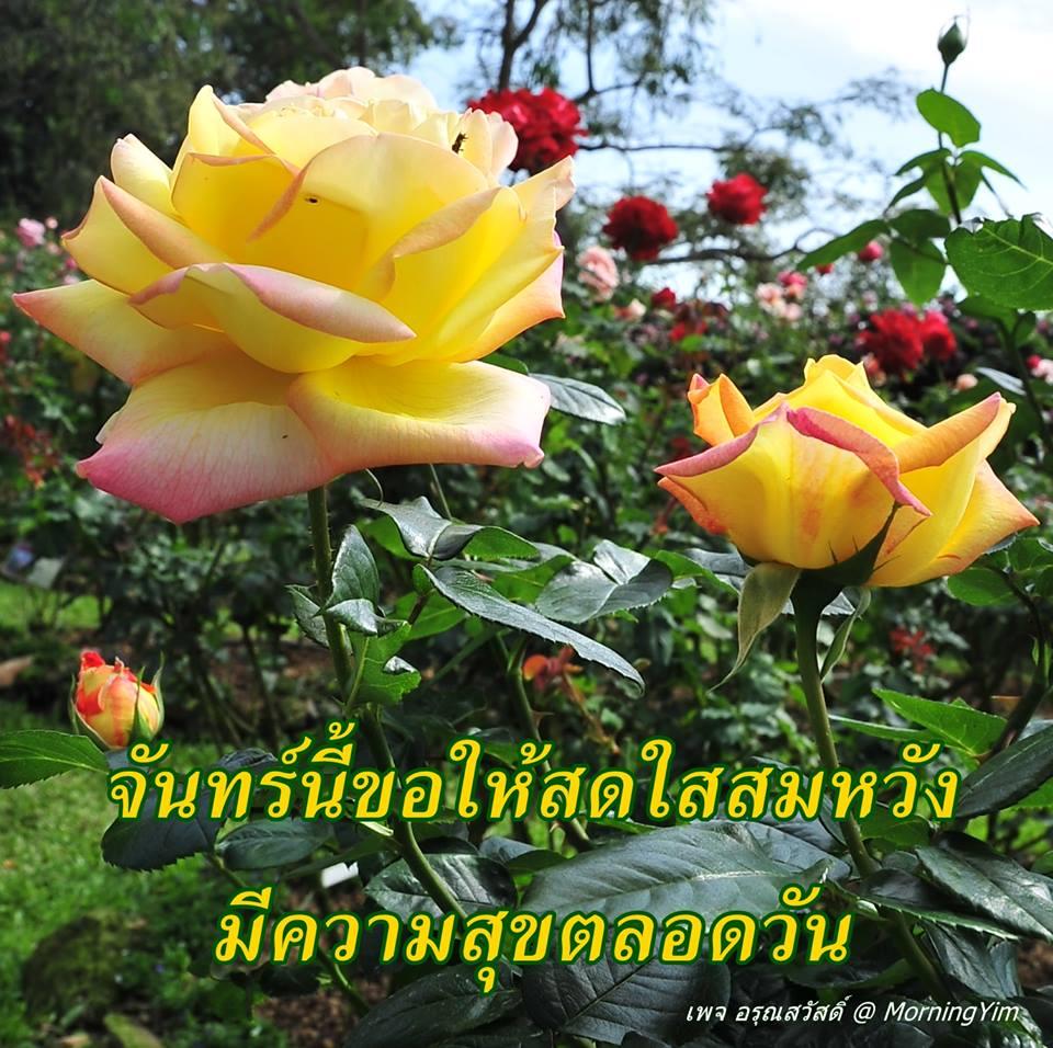 อรุณสวัสดิ์วันจันทร์สีเหลืองด้วยดอกกุหลาบสีเหลือง