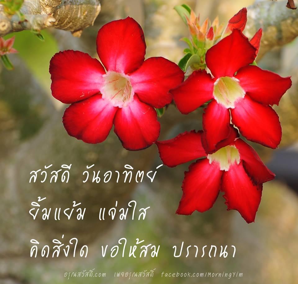 สวัสดีวันอาทิตย์ด้วยดอกชวนชมสีแดง