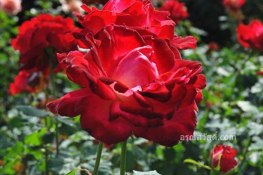 ดอกกุหลาบสีแดง