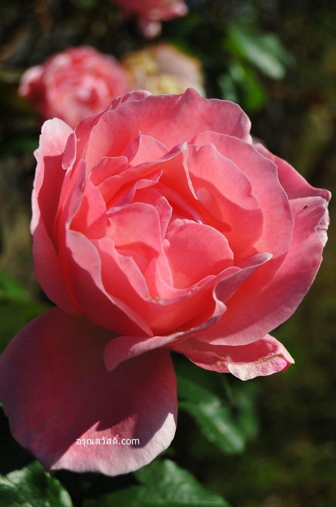 ดอกกุหลาบในปราสาทมัตสึโมโตะ