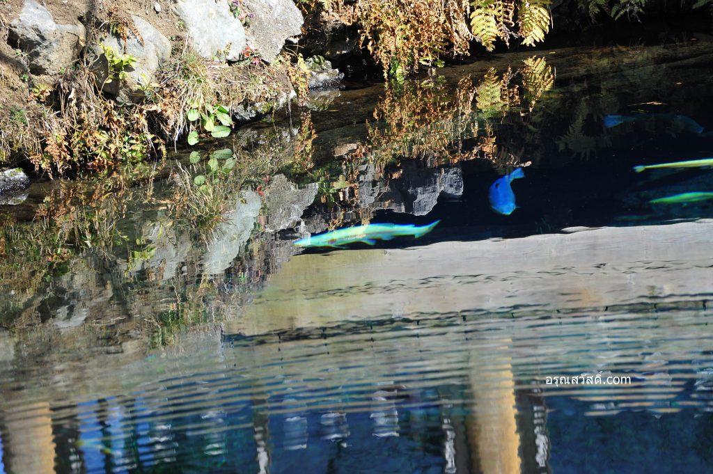 ปลาในบ่อน้ำใสหมู่บ้านโอชิโนะฮัคไค Oshino Hakkai Village