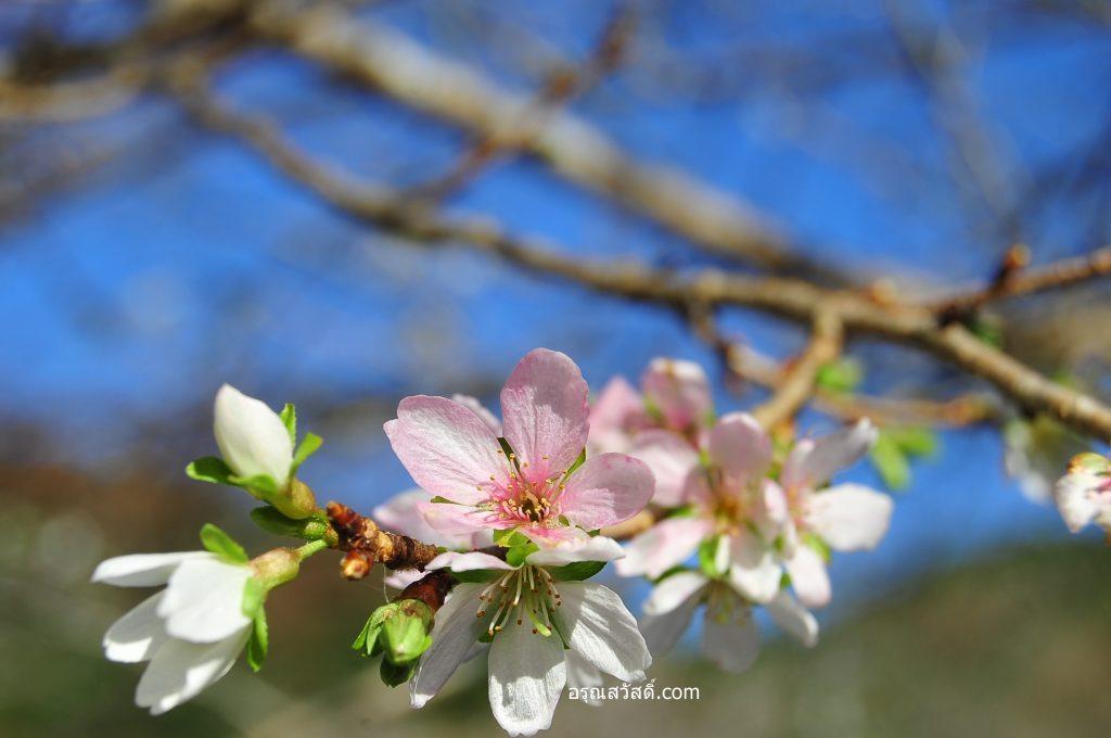 ดอกซากุระ Sakura